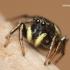 Heliophanus sp. - Žėrūnas | Fotografijos autorius : Lukas Jonaitis | © Macrogamta.lt | Šis tinklapis priklauso bendruomenei kuri domisi makro fotografija ir fotografuoja gyvąjį makro pasaulį.