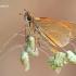 Thymelicus sylvestris - Raudonbuožis storgalvis | Fotografijos autorius : Lukas Jonaitis | © Macrogamta.lt | Šis tinklapis priklauso bendruomenei kuri domisi makro fotografija ir fotografuoja gyvąjį makro pasaulį.