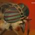 Hybomitra sp. - Sparva | Fotografijos autorius : Lukas Jonaitis | © Macrogamta.lt | Šis tinklapis priklauso bendruomenei kuri domisi makro fotografija ir fotografuoja gyvąjį makro pasaulį.