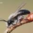 Andrena vaga - Smėliabitė | Fotografijos autorius : Arūnas Eismantas | © Macrogamta.lt | Šis tinklapis priklauso bendruomenei kuri domisi makro fotografija ir fotografuoja gyvąjį makro pasaulį.