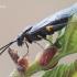 Tenthredinidae - Tikrasis pjūklelis | Fotografijos autorius : Arūnas Eismantas | © Macrogamta.lt | Šis tinklapis priklauso bendruomenei kuri domisi makro fotografija ir fotografuoja gyvąjį makro pasaulį.