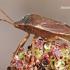Palomena prasina - Medinė skydblakė | Fotografijos autorius : Arūnas Eismantas | © Macrogamta.lt | Šis tinklapis priklauso bendruomenei kuri domisi makro fotografija ir fotografuoja gyvąjį makro pasaulį.