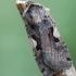 Gelsvadėmis dirvinukas - Xestia c-nigrum | Fotografijos autorius : Arūnas Eismantas | © Macrogamta.lt | Šis tinklapis priklauso bendruomenei kuri domisi makro fotografija ir fotografuoja gyvąjį makro pasaulį.