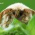 Malacosoma castrensis - Žolinis verpikas | Fotografijos autorius : Arūnas Eismantas | © Macrogamta.lt | Šis tinklapis priklauso bendruomenei kuri domisi makro fotografija ir fotografuoja gyvąjį makro pasaulį.