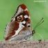 Apatura iris - Kilnioji vaiva   Fotografijos autorius : Arūnas Eismantas   © Macrogamta.lt   Šis tinklapis priklauso bendruomenei kuri domisi makro fotografija ir fotografuoja gyvąjį makro pasaulį.