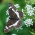 Limenitis camilla - Mažasis juodmargis | Fotografijos autorius : Arūnas Eismantas | © Macrogamta.lt | Šis tinklapis priklauso bendruomenei kuri domisi makro fotografija ir fotografuoja gyvąjį makro pasaulį.