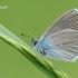 Cyaniris [=Polyommatus] semiargus - Pilkasis melsvys | Fotografijos autorius : Arūnas Eismantas | © Macrogamta.lt | Šis tinklapis priklauso bendruomenei kuri domisi makro fotografija ir fotografuoja gyvąjį makro pasaulį.