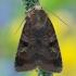 Diarsia brunnea - Mėlyninis dirvinukas | Fotografijos autorius : Arūnas Eismantas | © Macrogamta.lt | Šis tinklapis priklauso bendruomenei kuri domisi makro fotografija ir fotografuoja gyvąjį makro pasaulį.