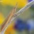 Donacaula mucronella - Baltakraštis stiebinukas | Fotografijos autorius : Arūnas Eismantas | © Macrogamta.lt | Šis tinklapis priklauso bendruomenei kuri domisi makro fotografija ir fotografuoja gyvąjį makro pasaulį.