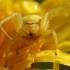 Misumena vatia - Geltonasis žiedvoris | Fotografijos autorius : Arūnas Eismantas | © Macrogamta.lt | Šis tinklapis priklauso bendruomenei kuri domisi makro fotografija ir fotografuoja gyvąjį makro pasaulį.