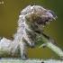Abrostola triplasia - Rusvasis pilkūnas | Fotografijos autorius : Arūnas Eismantas | © Macrogamta.lt | Šis tinklapis priklauso bendruomenei kuri domisi makro fotografija ir fotografuoja gyvąjį makro pasaulį.