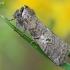 Tethea or - Dvidėmis pūkanugaris | Fotografijos autorius : Arūnas Eismantas | © Macrogamta.lt | Šis tinklapis priklauso bendruomenei kuri domisi makro fotografija ir fotografuoja gyvąjį makro pasaulį.