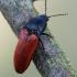 Ampedus pomonae / Ampedus pomorum - Kelmaspragšis   Fotografijos autorius : Arūnas Eismantas   © Macrogamta.lt   Šis tinklapis priklauso bendruomenei kuri domisi makro fotografija ir fotografuoja gyvąjį makro pasaulį.