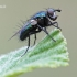Gymnocheta viridis – Žalioji dygliamusė | Fotografijos autorius : Arūnas Eismantas | © Macrogamta.lt | Šis tinklapis priklauso bendruomenei kuri domisi makro fotografija ir fotografuoja gyvąjį makro pasaulį.