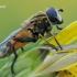 Helophilus hybridus - Žiedmusė   Fotografijos autorius : Arūnas Eismantas   © Macrogamta.lt   Šis tinklapis priklauso bendruomenei kuri domisi makro fotografija ir fotografuoja gyvąjį makro pasaulį.