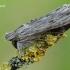 Cucullia lucifuga - Pieninė kukulija | Fotografijos autorius : Arūnas Eismantas | © Macrogamta.lt | Šis tinklapis priklauso bendruomenei kuri domisi makro fotografija ir fotografuoja gyvąjį makro pasaulį.