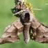 Smerinthus ocellatus - Akiuotasis sfinksas | Fotografijos autorius : Arūnas Eismantas | © Macrogamta.lt | Šis tinklapis priklauso bendruomenei kuri domisi makro fotografija ir fotografuoja gyvąjį makro pasaulį.