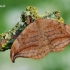 Drepana curvatula - Tamsusis lenktasparnis | Fotografijos autorius : Arūnas Eismantas | © Macrogamta.lt | Šis tinklapis priklauso bendruomenei kuri domisi makro fotografija ir fotografuoja gyvąjį makro pasaulį.
