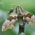 Mimas tiliae - Liepinis sfinksas   Fotografijos autorius : Arūnas Eismantas   © Macrogamta.lt   Šis tinklapis priklauso bendruomenei kuri domisi makro fotografija ir fotografuoja gyvąjį makro pasaulį.