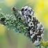 Panthea coenobita - Juodmargis miškinukas | Fotografijos autorius : Arūnas Eismantas | © Macrogamta.lt | Šis tinklapis priklauso bendruomenei kuri domisi makro fotografija ir fotografuoja gyvąjį makro pasaulį.