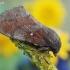 Dendrolimus pini - Pušinis verpikas   Fotografijos autorius : Arūnas Eismantas   © Macrogamta.lt   Šis tinklapis priklauso bendruomenei kuri domisi makro fotografija ir fotografuoja gyvąjį makro pasaulį.