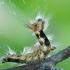 Arctornis l-nigrum - Liepinis baltasis verpikas | Fotografijos autorius : Arūnas Eismantas | © Macrogamta.lt | Šis tinklapis priklauso bendruomenei kuri domisi makro fotografija ir fotografuoja gyvąjį makro pasaulį.