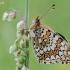 Didžioji šaškytė - Melitaea phoebe   Fotografijos autorius : Arūnas Eismantas   © Macrogamta.lt   Šis tinklapis priklauso bendruomenei kuri domisi makro fotografija ir fotografuoja gyvąjį makro pasaulį.