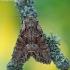 Dirvinis pelėdgalvis - Lacanobia thalassina | Fotografijos autorius : Arūnas Eismantas | © Macrogamta.lt | Šis tinklapis priklauso bendruomenei kuri domisi makro fotografija ir fotografuoja gyvąjį makro pasaulį.