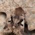 Juodaraštis ankstyvasis pelėdgalvis - Orthosia gothica | Fotografijos autorius : Arūnas Eismantas | © Macrogamta.lt | Šis tinklapis priklauso bendruomenei kuri domisi makro fotografija ir fotografuoja gyvąjį makro pasaulį.