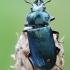 Žygiškasis elniavabalis - Platycerus caraboides | Fotografijos autorius : Arūnas Eismantas | © Macrogamta.lt | Šis tinklapis priklauso bendruomenei kuri domisi makro fotografija ir fotografuoja gyvąjį makro pasaulį.