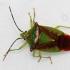Gudobelinė skydblakė - Acanthosoma haemorrhoidale  | Fotografijos autorius : Arūnas Eismantas | © Macrogamta.lt | Šis tinklapis priklauso bendruomenei kuri domisi makro fotografija ir fotografuoja gyvąjį makro pasaulį.
