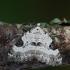 Sidabrinė cidarija - Perizoma blandiata | Fotografijos autorius : Arūnas Eismantas | © Macrogamta.lt | Šis tinklapis priklauso bendruomenei kuri domisi makro fotografija ir fotografuoja gyvąjį makro pasaulį.