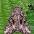 Įžambiajuostis pelėdgalvis - Lacanobia contigua | Fotografijos autorius : Arūnas Eismantas | © Macrogamta.lt | Šis tinklapis priklauso bendruomenei kuri domisi makro fotografija ir fotografuoja gyvąjį makro pasaulį.