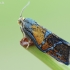 Švinajuostis lapsukis - Ptycholoma lecheana | Fotografijos autorius : Arūnas Eismantas | © Macrogamta.lt | Šis tinklapis priklauso bendruomenei kuri domisi makro fotografija ir fotografuoja gyvąjį makro pasaulį.