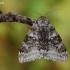 Mėlynsparnė peteliškė - Catocala fraxini | Fotografijos autorius : Arūnas Eismantas | © Macrogamta.lt | Šis tinklapis priklauso bendruomenei kuri domisi makro fotografija ir fotografuoja gyvąjį makro pasaulį.