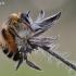 Bitė | Fotografijos autorius : Arūnas Eismantas | © Macrogamta.lt | Šis tinklapis priklauso bendruomenei kuri domisi makro fotografija ir fotografuoja gyvąjį makro pasaulį.