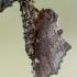 Širmoji odontozija - Odontosia carmelita   Fotografijos autorius : Arūnas Eismantas   © Macrogamta.lt   Šis tinklapis priklauso bendruomenei kuri domisi makro fotografija ir fotografuoja gyvąjį makro pasaulį.