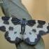 Šiaurinis margasprindis - Lomaspilis opis   Fotografijos autorius : Arūnas Eismantas   © Macrogamta.lt   Šis tinklapis priklauso bendruomenei kuri domisi makro fotografija ir fotografuoja gyvąjį makro pasaulį.