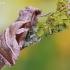 Eucarta virgo - Baltajuostė eukarta | Fotografijos autorius : Arūnas Eismantas | © Macrogamta.lt | Šis tinklapis priklauso bendruomenei kuri domisi makro fotografija ir fotografuoja gyvąjį makro pasaulį.