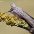 Cucullia umbratica - Paprastoji kukulija | Fotografijos autorius : Arūnas Eismantas | © Macrogamta.lt | Šis tinklapis priklauso bendruomenei kuri domisi makro fotografija ir fotografuoja gyvąjį makro pasaulį.