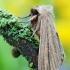 Rusvarudis pievinukas - Mythimna pudorina | Fotografijos autorius : Arūnas Eismantas | © Macrogamta.lt | Šis tinklapis priklauso bendruomenei kuri domisi makro fotografija ir fotografuoja gyvąjį makro pasaulį.