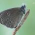 Aphantopus hyperanthus - Tamsusis satyras | Fotografijos autorius : Arūnas Eismantas | © Macrogamta.lt | Šis tinklapis priklauso bendruomenei kuri domisi makro fotografija ir fotografuoja gyvąjį makro pasaulį.