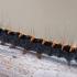 Lasiocampa quercus - Ąžuolinis verpikas | Fotografijos autorius : Arūnas Eismantas | © Macrogamta.lt | Šis tinklapis priklauso bendruomenei kuri domisi makro fotografija ir fotografuoja gyvąjį makro pasaulį.