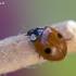 Dvitaškė adalija - Adalia bipunctata | Fotografijos autorius : Darius Baužys | © Macrogamta.lt | Šis tinklapis priklauso bendruomenei kuri domisi makro fotografija ir fotografuoja gyvąjį makro pasaulį.