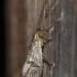 Apsiuva - Trichoptera | Fotografijos autorius : Darius Baužys | © Macrogamta.lt | Šis tinklapis priklauso bendruomenei kuri domisi makro fotografija ir fotografuoja gyvąjį makro pasaulį.