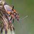 Raudonmargė kampuotblakė - Corizus hyoscyami | Fotografijos autorius : Darius Baužys | © Macrogamta.lt | Šis tinklapis priklauso bendruomenei kuri domisi makro fotografija ir fotografuoja gyvąjį makro pasaulį.