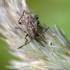 Ryškiapilvės kampuotblakės nimfa - Stictopleurus punctatonervosus | Fotografijos autorius : Darius Baužys | © Macrogamta.lt | Šis tinklapis priklauso bendruomenei kuri domisi makro fotografija ir fotografuoja gyvąjį makro pasaulį.