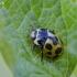 Dilgėlinė boružė - Hippodamia notata | Fotografijos autorius : Darius Baužys | © Macrogamta.lt | Šis tinklapis priklauso bendruomenei kuri domisi makro fotografija ir fotografuoja gyvąjį makro pasaulį.