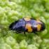 Žvilgvabalis - Glischrochilus grandis | Fotografijos autorius : Darius Baužys | © Macrogamta.lt | Šis tinklapis priklauso bendruomenei kuri domisi makro fotografija ir fotografuoja gyvąjį makro pasaulį.