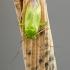 Gelsvakraštė žolblakė - Lygocoris rugicollis (Fallen- 1807) | Fotografijos autorius : Darius Baužys | © Macrogamta.lt | Šis tinklapis priklauso bendruomenei kuri domisi makro fotografija ir fotografuoja gyvąjį makro pasaulį.